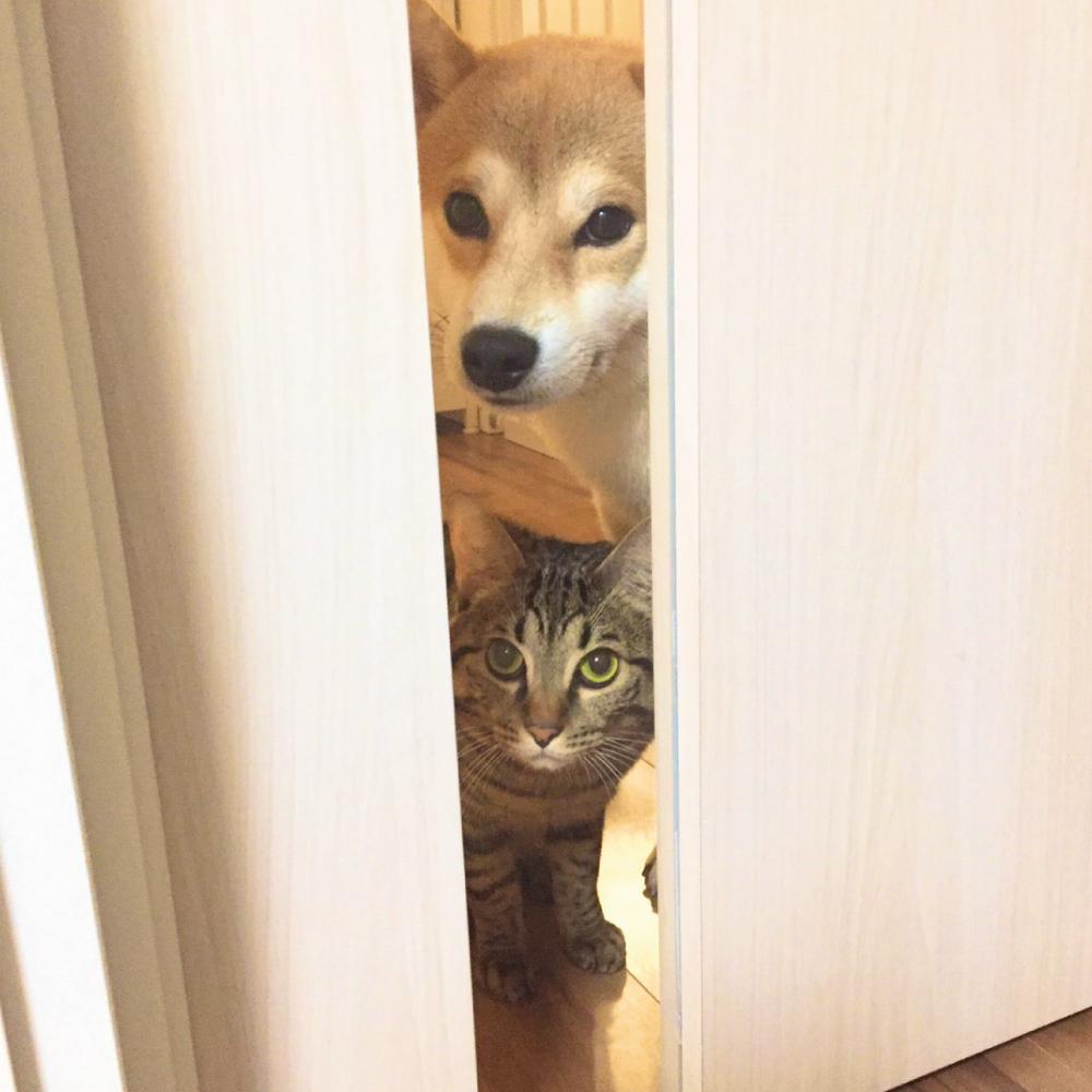 いつも一緒の柴犬と猫のとろ
