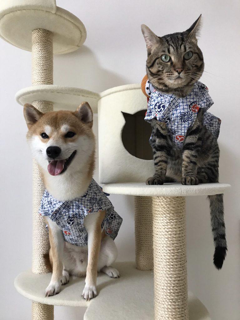 柴犬と猫のとろ